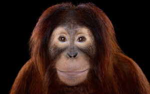 Affinity_Orangutan_3434124c