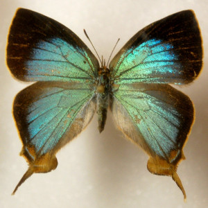 butterfly_specimen_3_by_chamberstock-d3bewbq