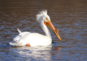 American_White_Pelican_(breeding)_in_Green_Bay,_WI,_2013