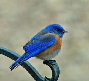 Western-Blue-Bird_05